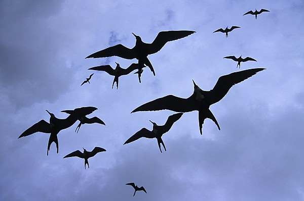 Frigate Birds In Flight. Lighthouse Print by Ron Watts