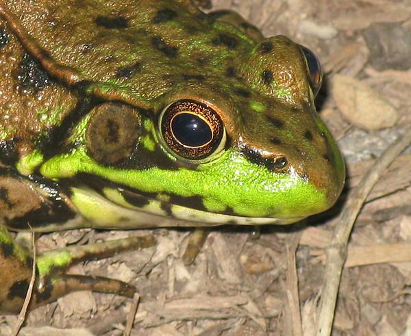 Frog Print by Debbie Finley