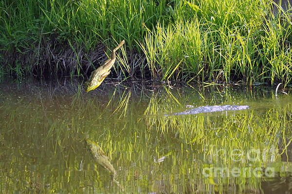 Frog Jumping In Water Print by Dan Friend