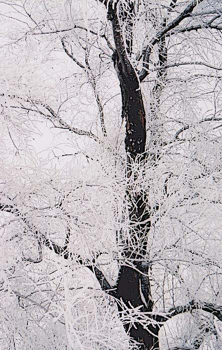 Jennifer Choate - Frosted Branches