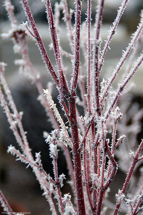 Frosty Coral Maple Print by Mick Anderson