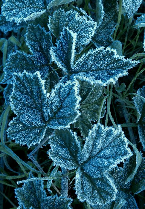 Garnett  Jaeger - Frosty Ivy