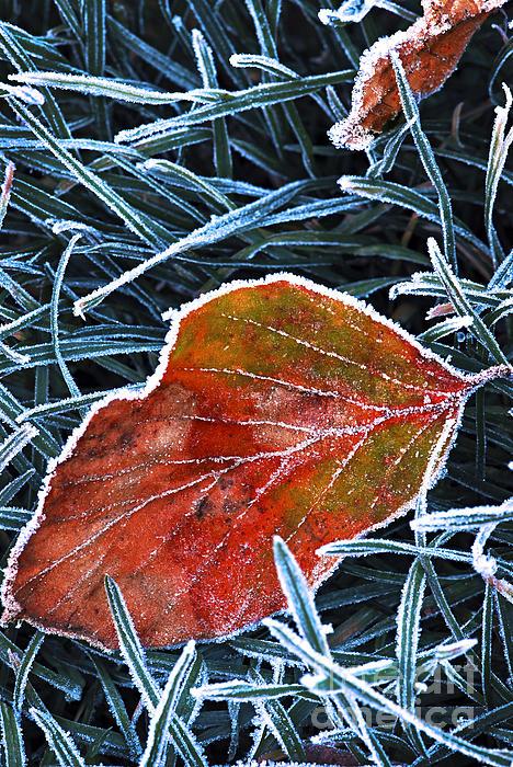 Frosty Leaf Print by Elena Elisseeva