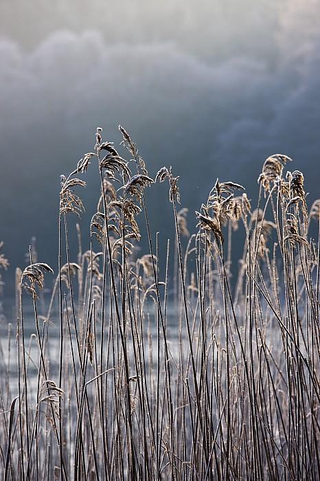 Frozen Reeds At The Shore Of A Lake Print by John Short