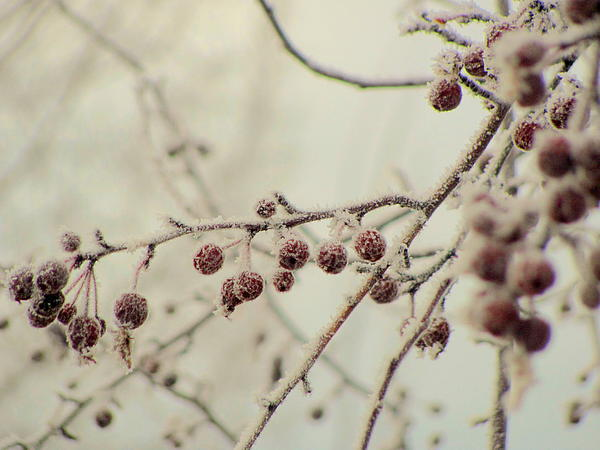 Amy Bradley - Frozen Tree Berries