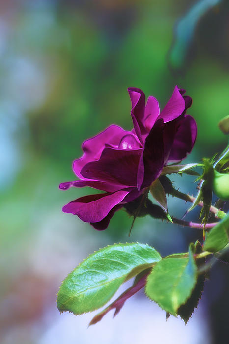 Bill Tiepelman - Fuchsia Rose in Bloom