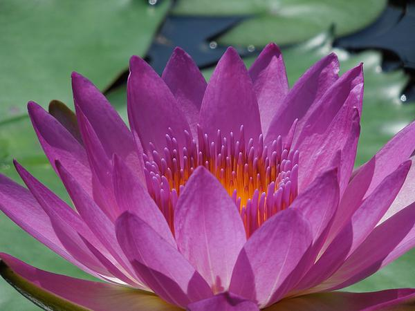 Fuchsia Water Lily Print by Chad and Stacey Hall