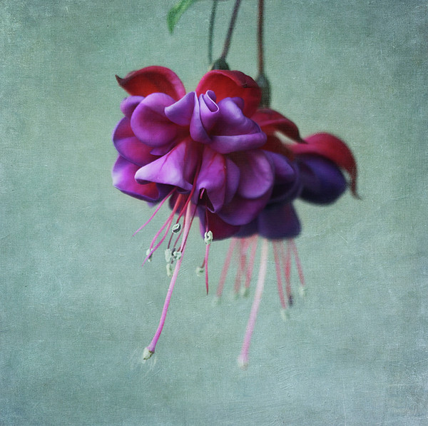 Fuschia Flower Print by Kim Hojnacki