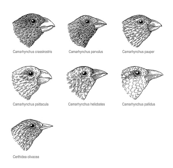 Galapagos Finches, Artwork Print by Gary Hincks