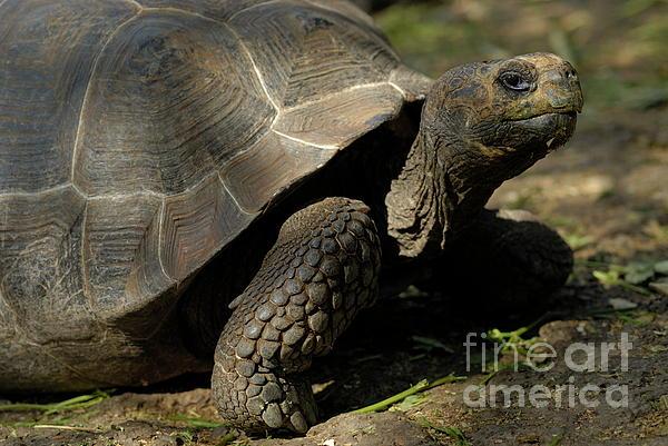 Galapagos Giant Tortoise Print by Sami Sarkis