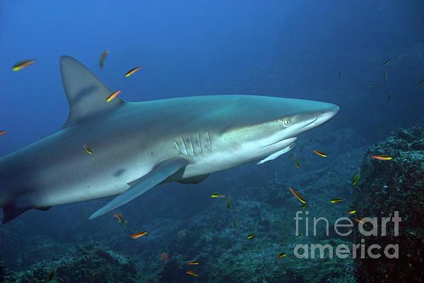 Galapagos Shark Print by Sami Sarkis