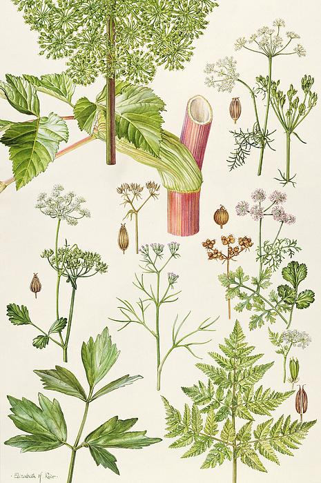 Garden Angelica And Other Plants  Print by Elizabeth Rice