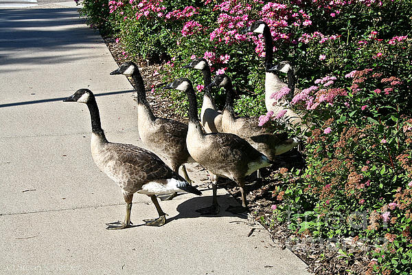 Garden Geese Parade Print by Susan Herber