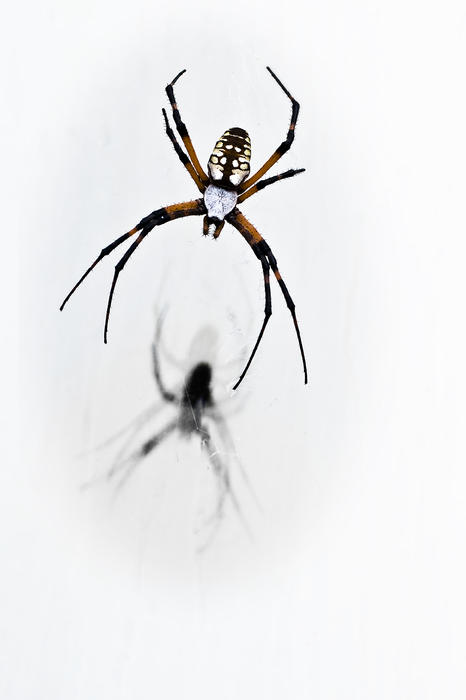 Garden Spider With Shadow Print by Tamyra Ayles