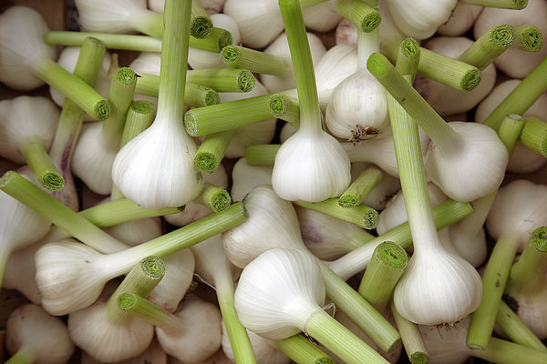 Garlic Bulbs Print by Laurence Delderfield
