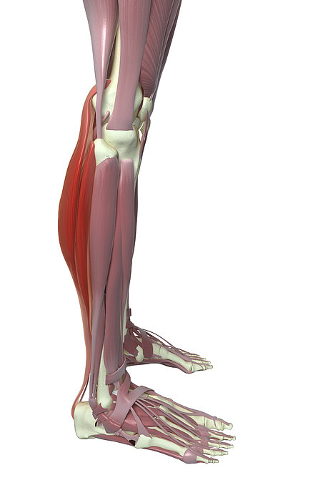 Gastrocnemius And Soleus Muscle Print by MedicalRF.com