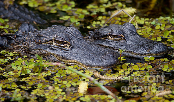 Gator Babies Print by Andres Leon