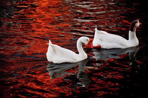 Geese At Lady Bird Lake Print by Mark Weaver