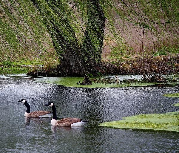 Geese On The Pond Print by Paulette Thomas