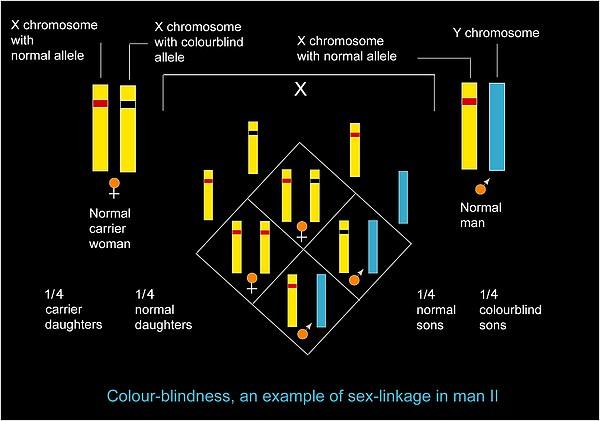 Genetics Of Colour Blindness, Diagram Print by Francis Leroy, Biocosmos