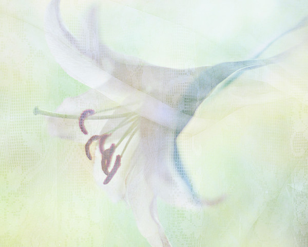 Gentle Lily Print by Sharon Lapkin