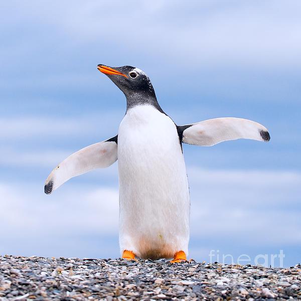 http://images.fineartamerica.com/images-medium/gentoo-penguin-konstantin-kalishko.jpg