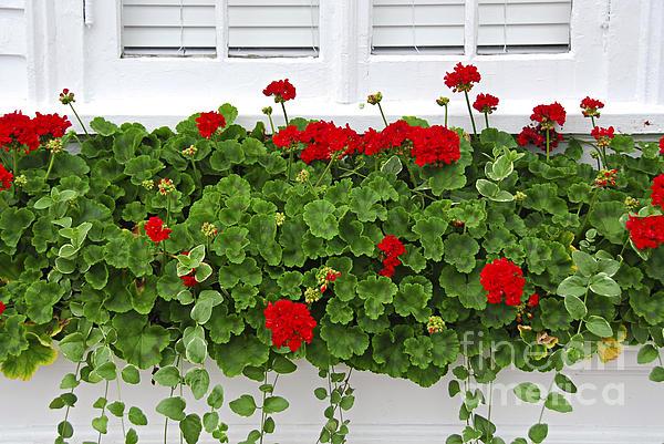 Geraniums On Window Print by Elena Elisseeva