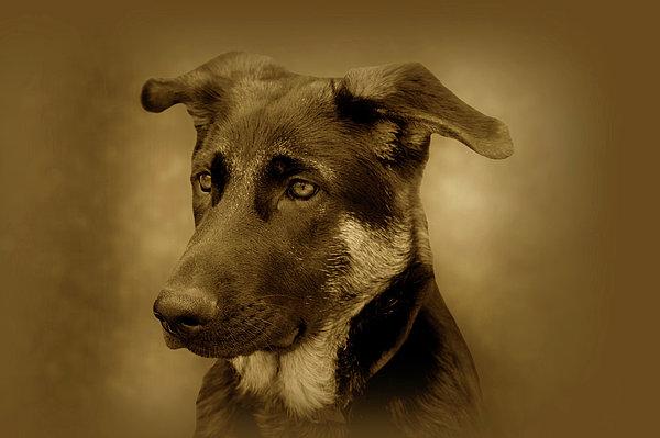 German Shepherd Pup Print by Sandy Keeton