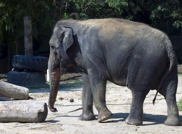 Giant Asian Elephant Print by Brendan Reals