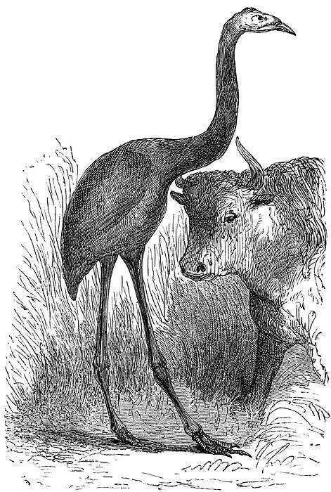 Giant Moa And Prehistoric Cow, Artwork Print by