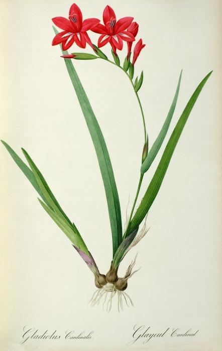 Gladiolus Cardinalis Print by Pierre Joseph Redoute