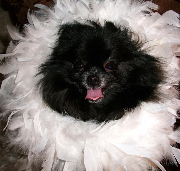 Glamourous Pomeranian Photograph