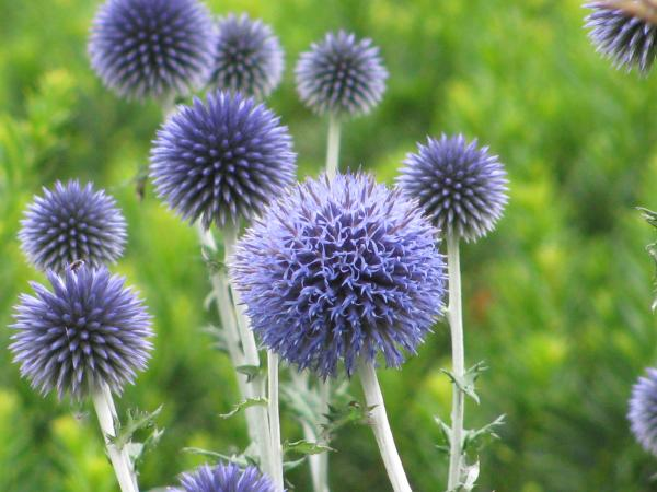 Ornamental Thistles Amp Other Prickly Perennials