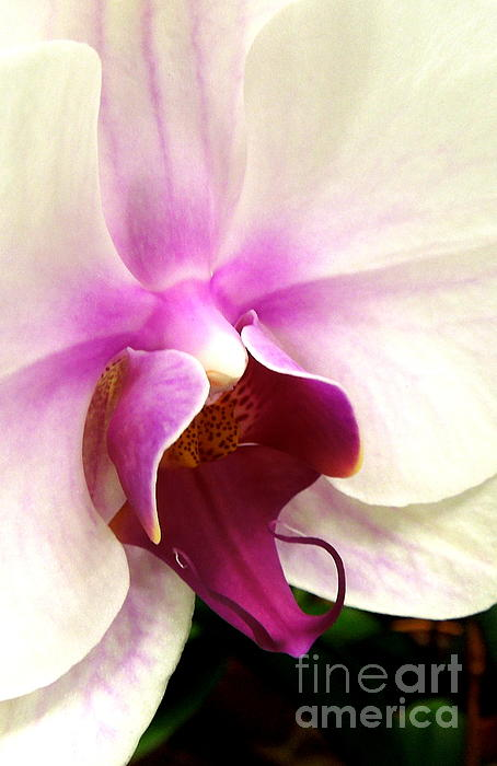 Glorious Orchid Print by Renee Trenholm