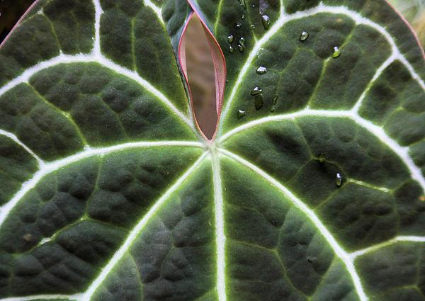 Glowing Leaf Print by Rosalie Scanlon