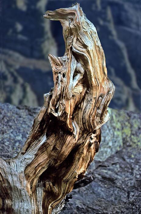 Gnarled Tree Stump Print by Rod Jones