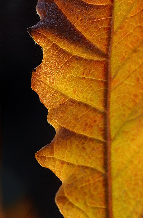 Gold Leaf - The Color Of Autumn Print by Steven Milner