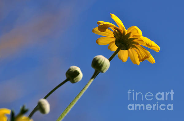 Golden Daisy On Blue Print by Kaye Menner