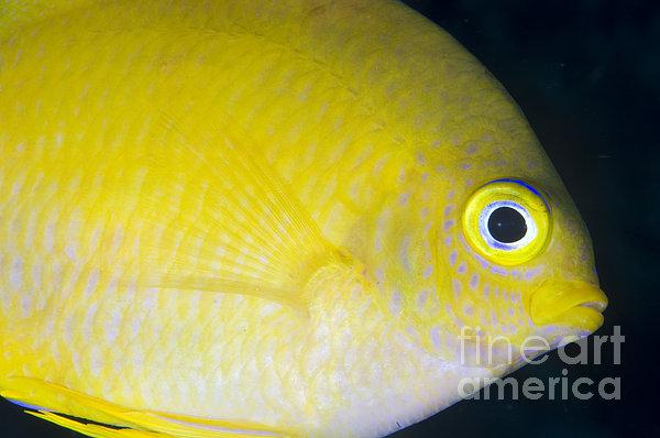 Golden Damsel Close-up, Papua New Print by Steve Jones