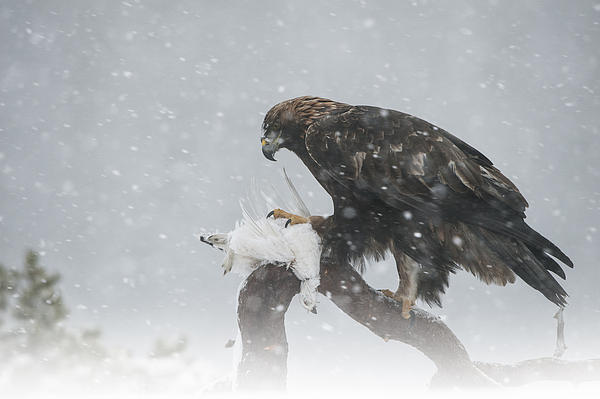 Golden Eagle Print by Andy Astbury
