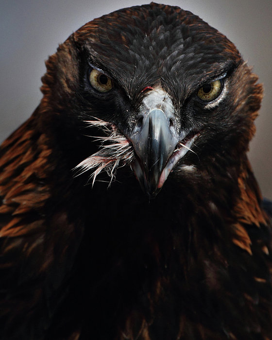 Golden Eagle Feeding Print by Pat Gaines