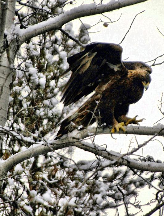 Golden Eagle Stretching Print by Don Mann