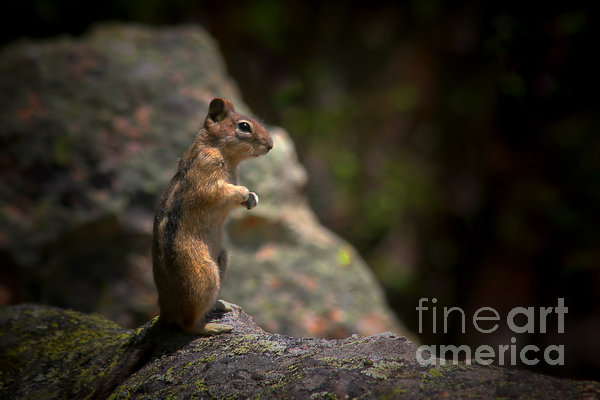 Golden Mantled Ground Squirrel Rocky Mountains Colorado Print by Christine Till