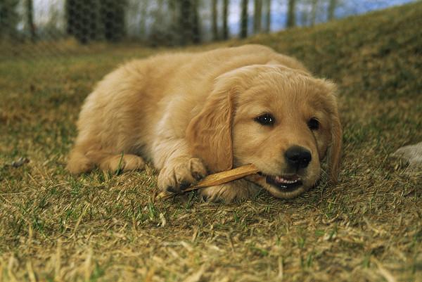 golden retriever puppy chews on a stick by gordon wiltsie. Black Bedroom Furniture Sets. Home Design Ideas