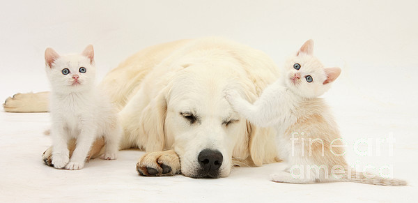 Golden Retriever With Two Kittens Print by Mark Taylor