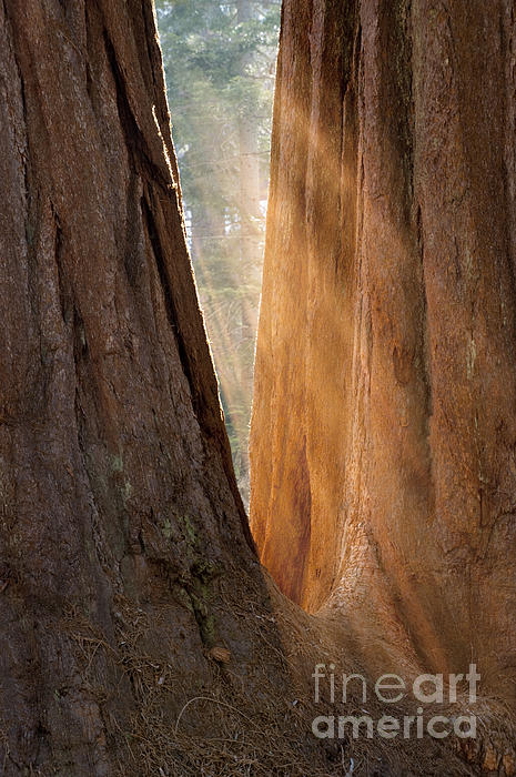 Sandra Bronstein - Golden Sequoia