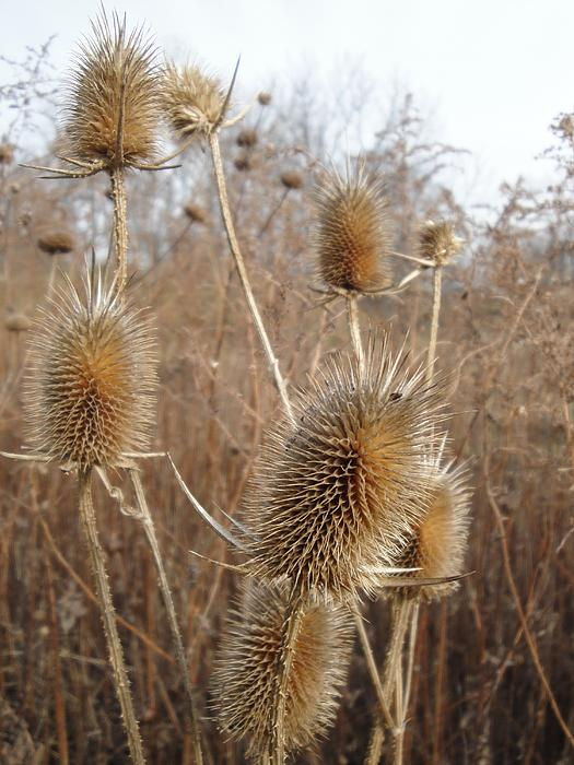 Golden Thistle Photograph