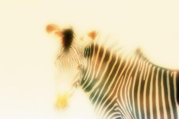 Jan Bonner - Golden Zebra