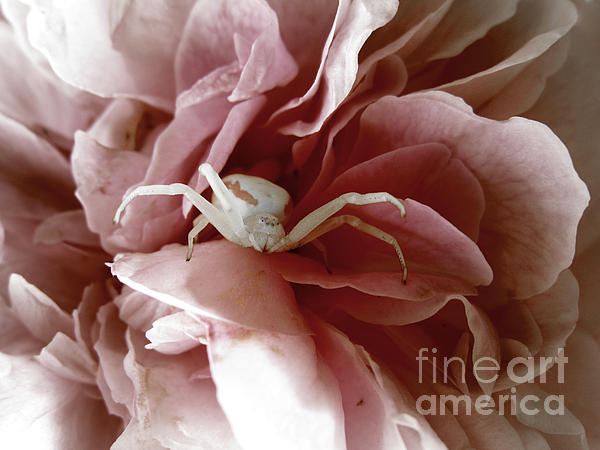 Stephanie Wenzl - Goldenrod Crab Spider