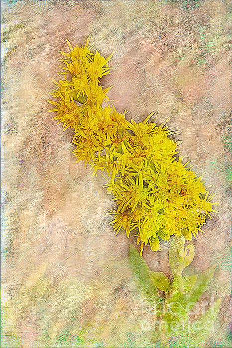 Goldenrod Print by Judi Bagwell